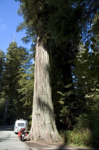 Newsflash - Large Redwoods eat Hondas and Airstreams for snacks!
