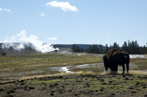 Old Faithful Geyser and some roaming Bison around the geyser. Apparently they have an internal alarm system for seismic events because they were out of the area before the eruption of steaming water.