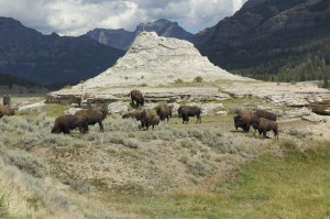 A herd of buffalo/bison at the Soda Butte